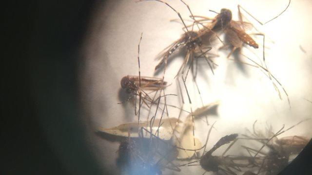 mosquito-aedes-aegypti-zika-main-culprit-cnn